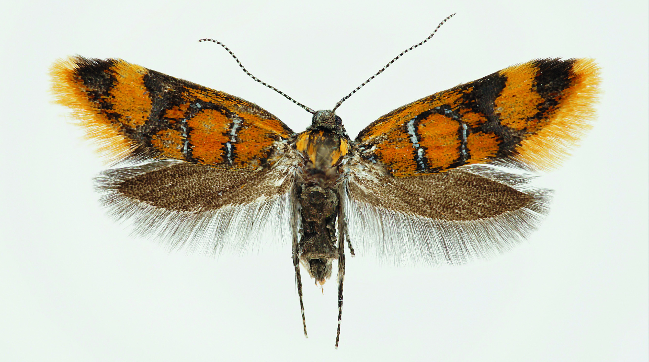 photo: K. Schwabe: Bisigna procerella (Denis & Schiffermüller, 1775)